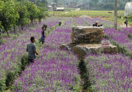 Gioi tre do xo den chup hinh o canh dong hoa oai huong Lao Cai - Anh 6