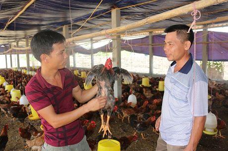 Tap Doan DABACO Viet Nam - Cong ty TNHH – MTV ga giong DABACO: Ga Tan Ho – Buoc dot pha moi trong nganh chan nuoi - Anh 1