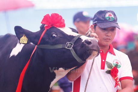 Tung bung cuoc thi Hoa hau bo sua Moc Chau 2016 - Anh 3