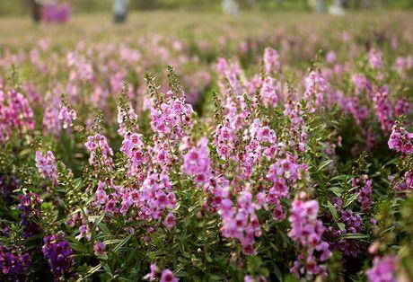 Thao nguyen hoa tuyet dep de chup anh cuoi o Ha Noi - Anh 7