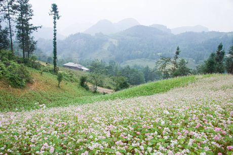 Ngam hoa tam giac mach no som o Bac Ha, Lao Cai - Anh 10