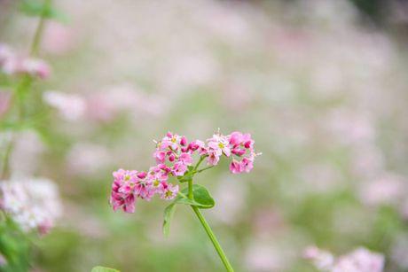 Ngam hoa tam giac mach no som o Bac Ha, Lao Cai - Anh 1