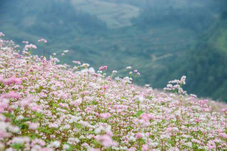 Ngam hoa tam giac mach no som o Bac Ha, Lao Cai - Anh 2