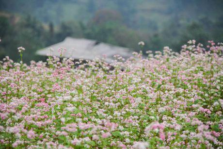 Ngam hoa tam giac mach no som o Bac Ha, Lao Cai - Anh 4