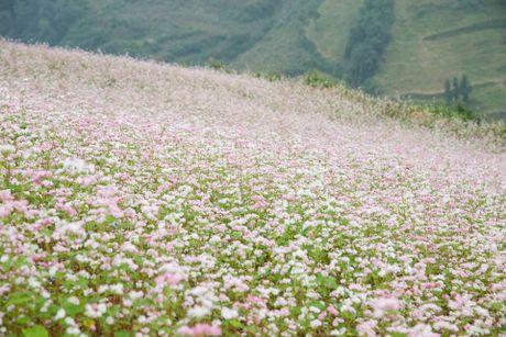 Ngam hoa tam giac mach no som o Bac Ha, Lao Cai - Anh 5