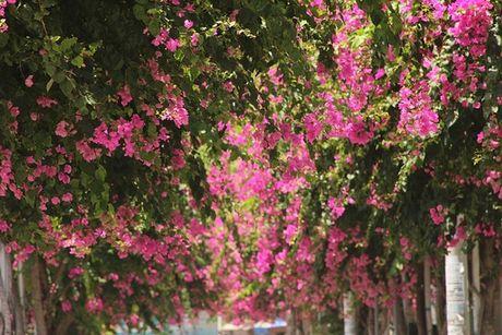 'Lac' vao cung duong hoa giay dep nhat Nha Trang - Anh 2