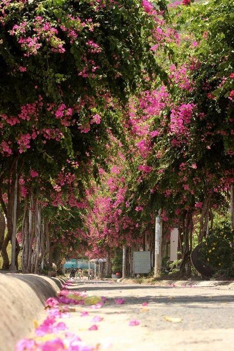 'Lac' vao cung duong hoa giay dep nhat Nha Trang - Anh 3