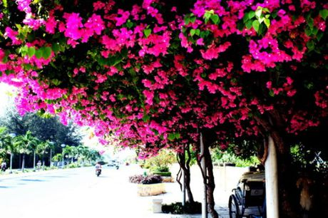 'Lac' vao cung duong hoa giay dep nhat Nha Trang - Anh 4