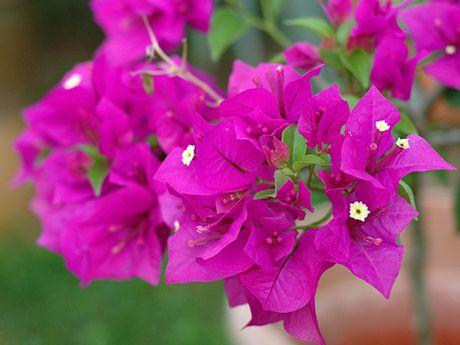 'Lac' vao cung duong hoa giay dep nhat Nha Trang - Anh 5