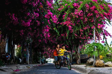'Lac' vao cung duong hoa giay dep nhat Nha Trang - Anh 6