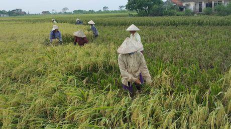 Ninh Binh: Nguoi dan khan truong gat lua chay bao - Anh 1