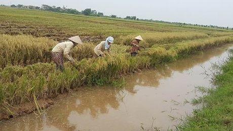 Ninh Binh: Nguoi dan khan truong gat lua chay bao - Anh 2