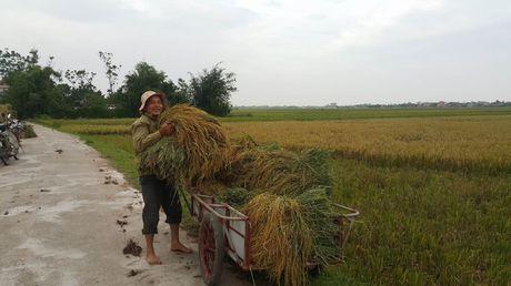 Ninh Binh: Nguoi dan khan truong gat lua chay bao - Anh 4