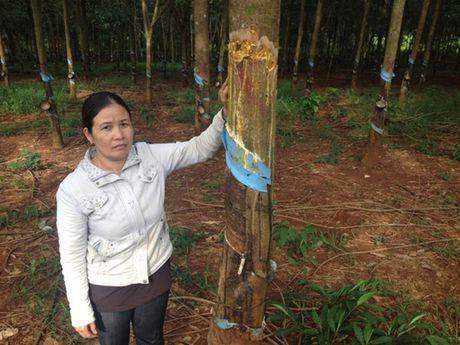 De nghi lam ro vu 92 cay cao su bi chat pha o Binh Phuoc - Anh 1
