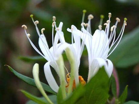 Nhung loai hoa dep va co loi cho suc khoe - Anh 14