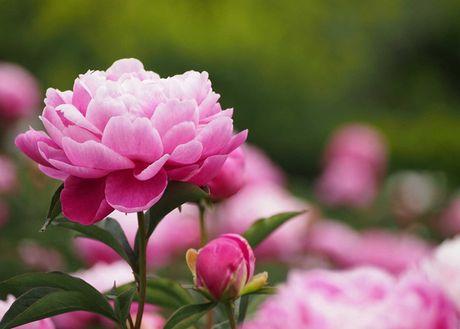 Nhung loai hoa dep va co loi cho suc khoe - Anh 17