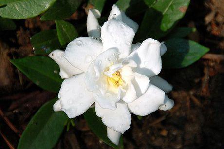 Nhung loai hoa dep va co loi cho suc khoe - Anh 2