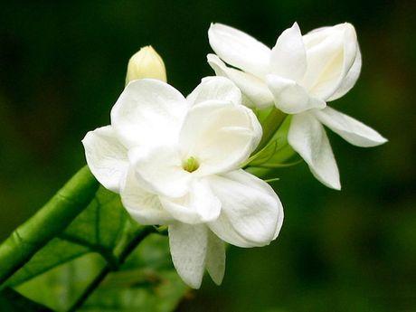 Nhung loai hoa dep va co loi cho suc khoe - Anh 3