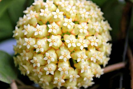 Nhung loai hoa dep va co loi cho suc khoe - Anh 8