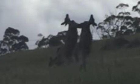 Xem kangaroo thui nhau bom bop nhu vo si chuyen nghiep - Anh 1