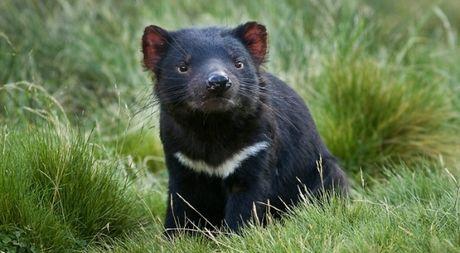 Dung sua cua 'quy Tasmania' lam thuoc khang khuan - Anh 1