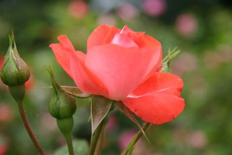 Ky thuat trong hoa hong ti muoi ra hoa quanh nam danh cho ai chua biet - Anh 1