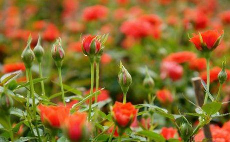 Ky thuat trong hoa hong ti muoi ra hoa quanh nam danh cho ai chua biet - Anh 3