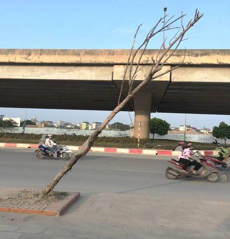 Cay moi chong chet hang loat tren pho Nguyen Xien, Nghiem Xuan Yem - Anh 2