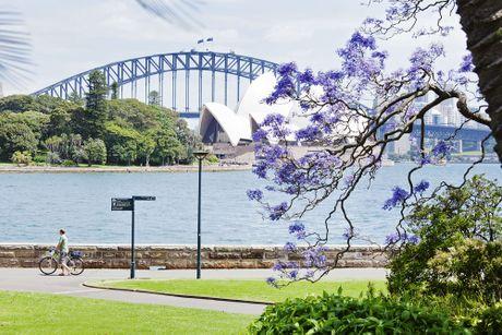 Ngam nhin Australia ruc ro khi mua hoa jacaranda no ro - Anh 1