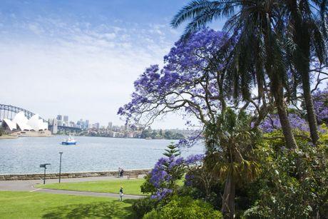 Ngam nhin Australia ruc ro khi mua hoa jacaranda no ro - Anh 2