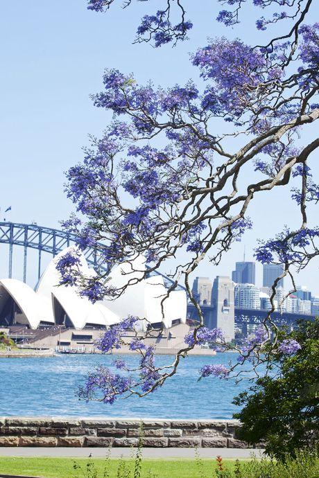 Ngam nhin Australia ruc ro khi mua hoa jacaranda no ro - Anh 4