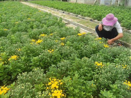 Gia hoa cuc tang manh: 5.000 dong/cay ban tai vuon - Anh 1