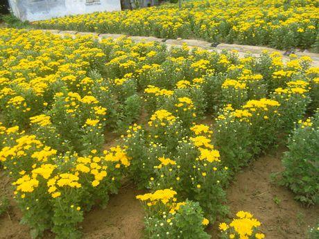 Gia hoa cuc tang manh: 5.000 dong/cay ban tai vuon - Anh 2