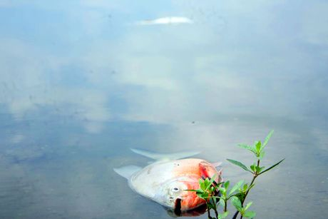 Ca lai chet nhieu o ho Linh Dam - Anh 2