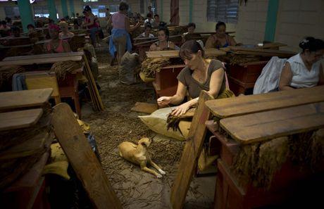 Quy trinh san xuat xi ga cau ky o Cuba - Anh 10