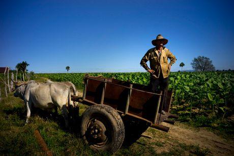 Quy trinh san xuat xi ga cau ky o Cuba - Anh 13