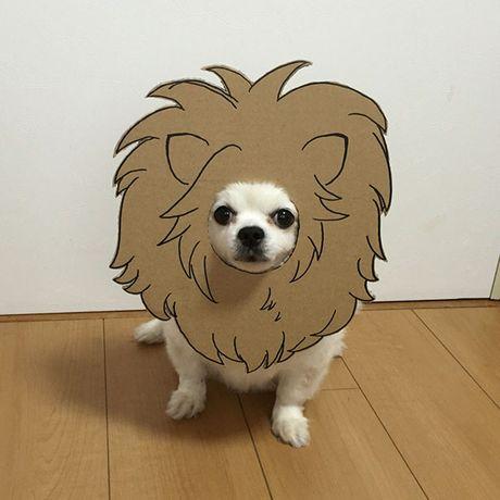 Phat sot voi man cosplay co 1-0-2 cua chu cho Chihuahua Mametaro - Anh 4