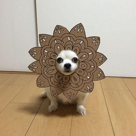 Phat sot voi man cosplay co 1-0-2 cua chu cho Chihuahua Mametaro - Anh 9