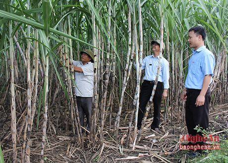 Mia Thai Lan o Tan Ky dat nang suat 100 tan/ha - Anh 1