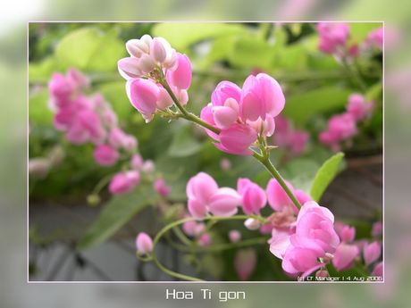 Hoa ti gon cung co the tri benh tieu duong hieu qua - Anh 5