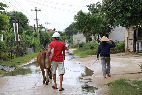 3 thuy dien o Quang Nam xa lu, dan cuong cuong lua trau bo len nui - Anh 3