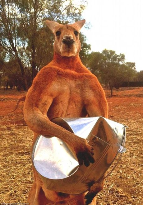 Can canh quai vat kangaroo '6 mui' khien cac quy ong ghen ti - Anh 10