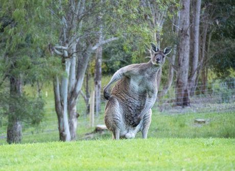 Can canh quai vat kangaroo '6 mui' khien cac quy ong ghen ti - Anh 4