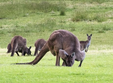 Can canh quai vat kangaroo '6 mui' khien cac quy ong ghen ti - Anh 5