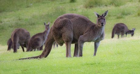 Can canh quai vat kangaroo '6 mui' khien cac quy ong ghen ti - Anh 6