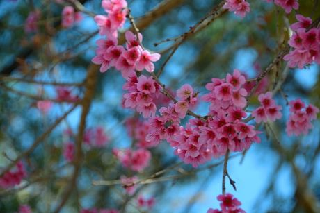 Cong bo chuong trinh ton vinh hoa mai anh dao Da Lat - Anh 2