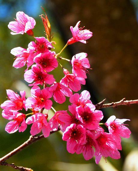 Cong bo chuong trinh ton vinh hoa mai anh dao Da Lat - Anh 3