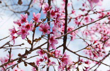 Cong bo chuong trinh ton vinh hoa mai anh dao Da Lat - Anh 6