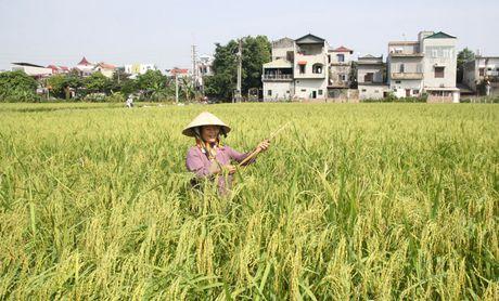 Huyen Soc Son - nong dan that thu vi chuot - Anh 1
