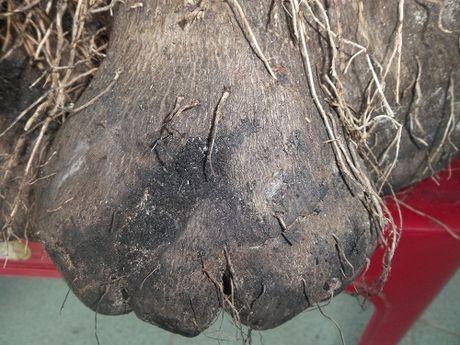 Thua Thien- Hue: Cu ba trong duoc cu khoai tia khong lo nang hon 23kg - Anh 2